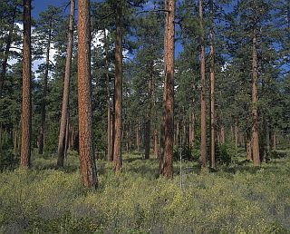 Ponderosa Pine Forest Arizona