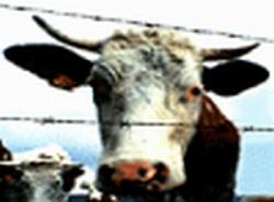 Good Cow